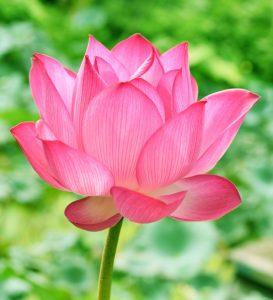 La leyenda de la flor de loto